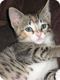 Domestic Shorthair Cat for adoption in Lighthouse Point, Florida - Lilly