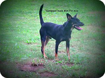 Miniature Pinscher Mix Dog for adoption in Gadsden, Alabama - Sampson