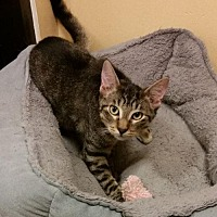 Adopt A Pet :: Tommy - Hallandale, FL