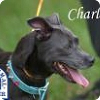 Chihuahua Mix Dog for adoption in Middleburg, Florida - Charlotte