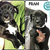 Adopt A Pet :: Fran - Kimberton, PA