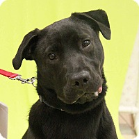 Labrador Retriever Mix Dog for adoption in New Rochelle Humane, New York - Roxy