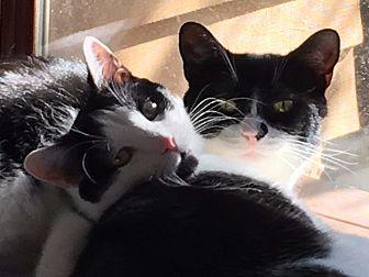 Domestic Shorthair Cat for adoption in Pasadena, California - Guy