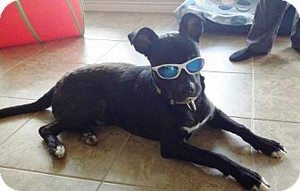 Labrador Retriever Mix Dog for adoption in Royse City, Texas - Jack