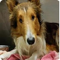 Collie Dog for adoption in COLUMBUS, Ohio - Sonny