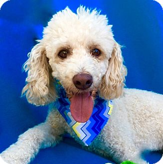 Poodle (Miniature)/Bichon Frise Mix Dog for adoption in Irvine, California - Louis