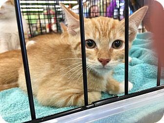 Domestic Shorthair Kitten for adoption in Clarksville, Tennessee - Linus