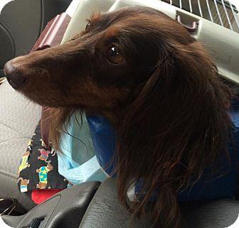 Dachshund Dog for adoption in Humble, Texas - Heidi