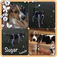 Adopt A Pet :: Sugar meet 9/30 - Manchester, CT