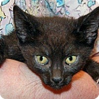 Domestic Shorthair Kitten for adoption in Wildomar, California - Darla