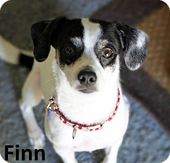 Beagle/Rat Terrier Mix Dog for adoption in Lake Forest, California - Finn