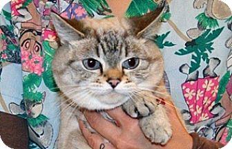 American Shorthair Cat for adoption in Wildomar, California - Miss Kitty