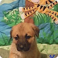 Adopt A Pet :: Sonchez - Niagra Falls, NY