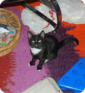 Domestic Shorthair Kitten for adoption in Southington, Connecticut - Dot
