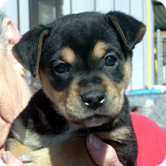 Rottweiler/German Shepherd Dog Mix Puppy for adoption in baltimore, Maryland - Tamara