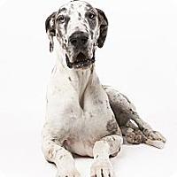 Adopt A Pet :: Bindi - Mesa, AZ