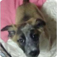 Adopt A Pet :: Cinnamint - GORGEOUS - Phoenix, AZ