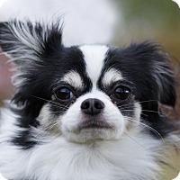 Adopt A Pet :: Pepe - Ile-Perrot, QC