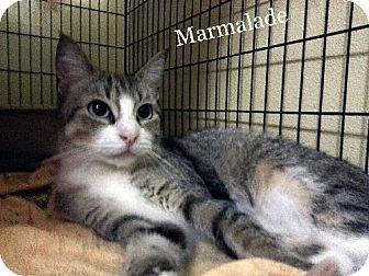 Calico Cat for adoption in Orange City, Florida - Marmalade