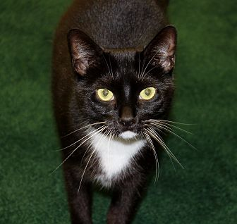 Domestic Shorthair Cat for adoption in Naples, Florida - Oreo