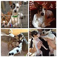 Adopt A Pet :: Bow Wow - Phoenix, AZ
