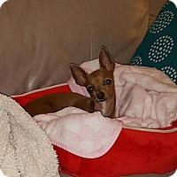 Adopt A Pet :: Cleo - Windermere, FL