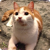 Adopt A Pet :: Paprika *EXTRA TOES* - Mount Laurel, NJ