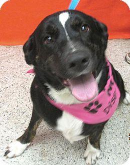 Rottweiler/Labrador Retriever Mix Dog for adoption in Conroe, Texas - Katie Sue