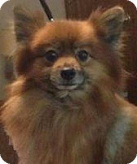 Pomeranian Dog for adoption in Nixa, Missouri - Prince # 918