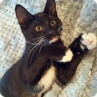Domestic Shorthair Kitten for adoption in Studio City, California - Batgirl – Playful Super Kitty