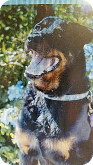 Rottweiler Mix Dog for adoption in Yelm, Washington - Shelby