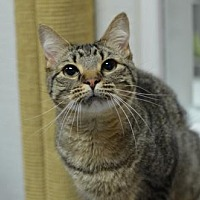 Domestic Shorthair Cat for adoption in Atlanta, Georgia - Addie 12193