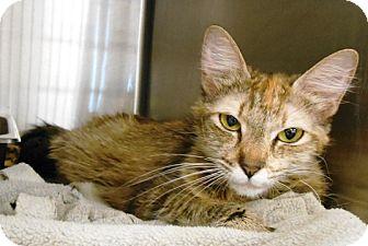 Domestic Longhair Cat for adoption in Redding, California - Margaret