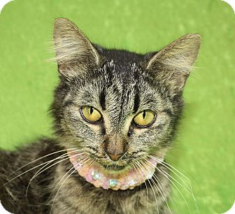 Domestic Mediumhair Cat for adoption in Jackson, Michigan - Victoria