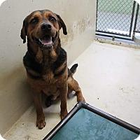 Rottweiler Mix Dog for adoption in Middlebury, Connecticut - Eddie