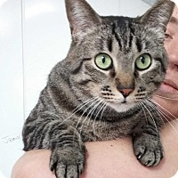 Domestic Shorthair Cat for adoption in Jefferson, Texas - Baily