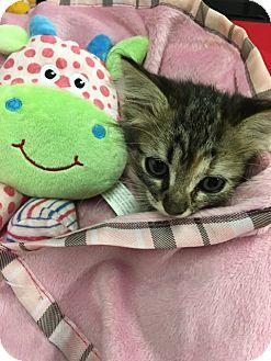Maine Coon Kitten for adoption in Redding, California - Sienna