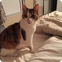 Calico Cat for adoption in Carrollton, Georgia - Prissy