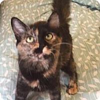 Domestic Mediumhair Kitten for adoption in Bulverde, Texas - Tiramasu