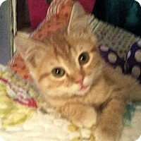 Domestic Shorthair Kitten for adoption in Winterville, North Carolina - JIGGS