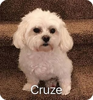Maltese Dog for adoption in Indianapolis, Indiana - Cruze