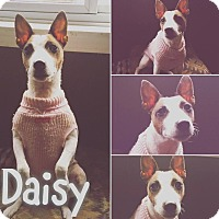 Adopt A Pet :: Daisy - St Clair Shores, MI