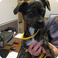 Adopt A Pet :: Little Debbie - Barrington, RI