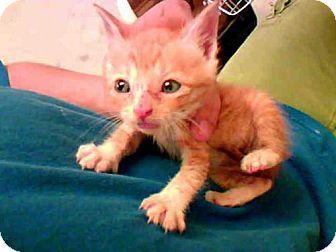Domestic Mediumhair Cat for adoption in Conroe, Texas - PUNKIN