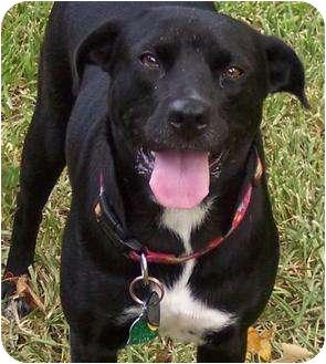 Labrador Retriever/Border Collie Mix Dog for adoption in Houston, Texas - BELLA