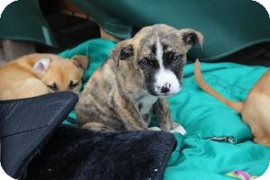 Boxer/Shepherd (Unknown Type) Mix Puppy for adoption in Marlton, New Jersey - Baby Snickers