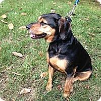 Adopt A Pet :: Snips - Saint Louis, MO