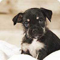 Adopt A Pet :: Mandy - Wytheville, VA