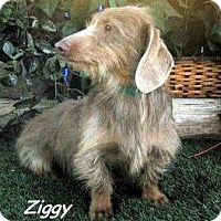 Adopt A Pet :: Ziggy - Chandler, AZ