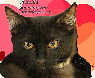 Domestic Mediumhair Cat for adoption in Monrovia, California - Purr-fect PRISCILLA